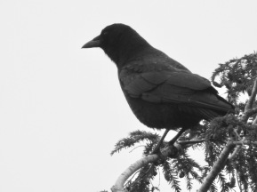 b&w crow hemlock tree photo
